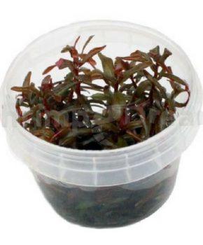 Ammannia senegalensis (In Vitro)