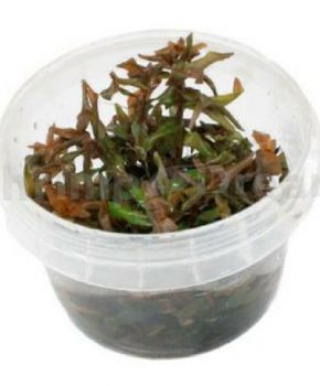 Ammannia gracilis (In Vitro)