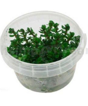 Rotala indica / Ammannia sp. Bonsai (In Vitro)