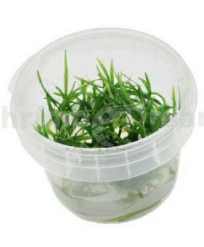 Helanthium tenellus 'Green' (In Vitro)