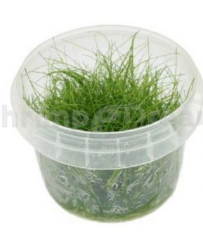 Eleocharis parvula Mini (In Vitro)
