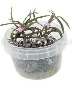 Hygrophila lancea 'Araguaia' (In Vitro)