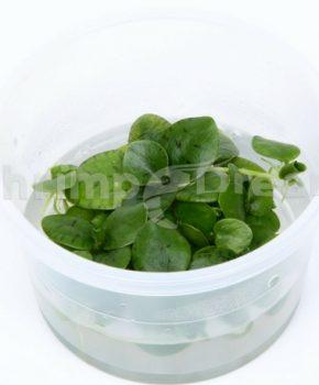 Limnobium laevigatum (copo)
