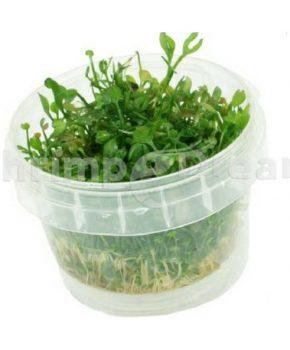 Marsilea angustifolia (In Vitro)