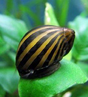 Neritina Zebra