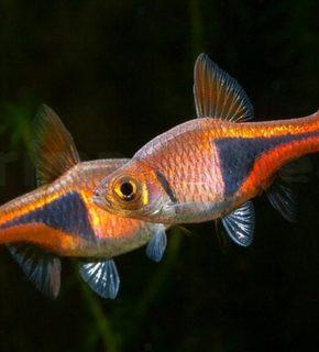 Trigonostigma Heteromorpha - Rasbora harlequim
