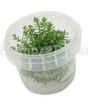 Rotala rotundifolia 'Green' (In Vitro)