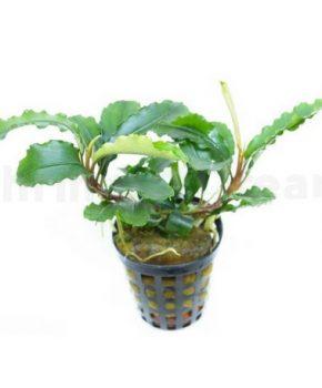 Bucephalandra 'Green Velvet'