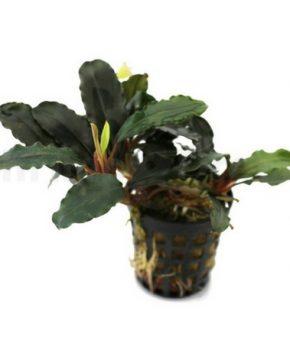 Bucephalandra 'Theia'