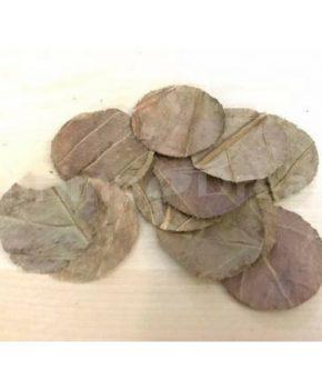 'Halos' de Amendoeira da Índia, 12 Unid.