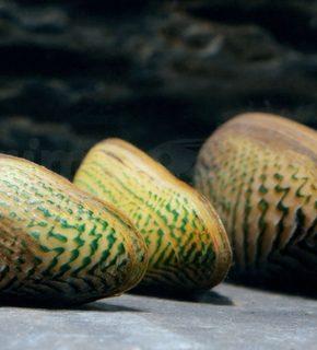 Scabies crispata