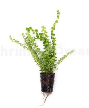 Dennerle Rotala spec. 'Green'