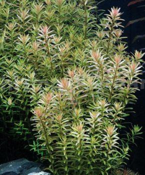Rotala Rotundifolia (rings)