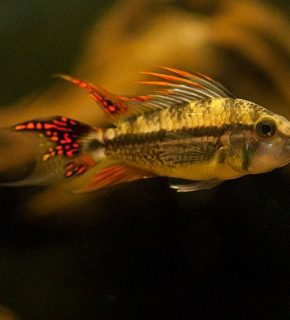 Apistogramma cacatuoides 'Double red'