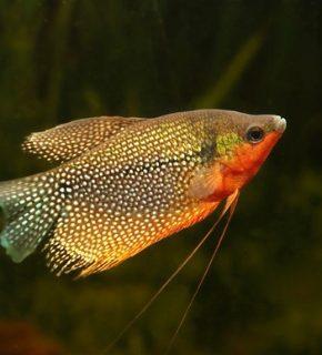 Trichogaster leeri - Gourami pérola