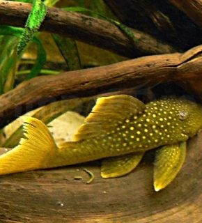 Baryancistrus demantoides - L200
