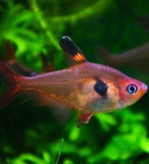 Hyphessobrycon sweglesi