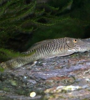Chaetostoma formosae - L187b