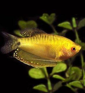 Trichopodus trichopterus - Gourami amarelo