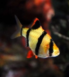 Puntius tetrazona - Barbo tigre