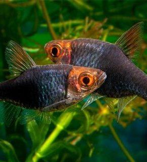 Trigonostigma Heteromorpha - Rasbora purple head