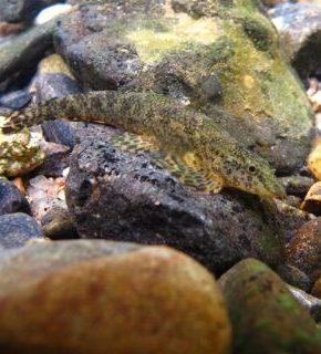 Homalopteroides smithi - Botia gecko anão