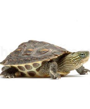 Tartaruga Mauremys Sinensis