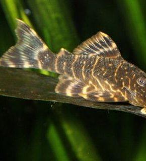 Panaque maccus - L104