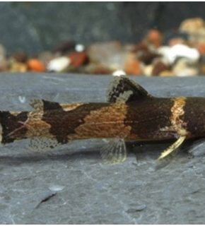 Microglanis poecilus - Bumblebee catfish