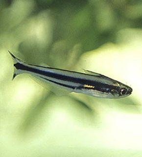Pareutropius buffei - Eutropiellus debauwi