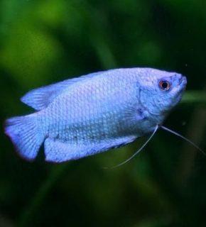 Trichogaster lalius - Colisa azul cobalto