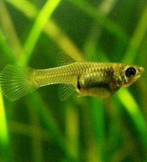 Poecilia wingei - Guppy endler (fêmea)
