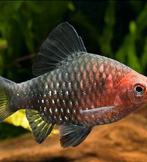 Puntius nigrofasciatus - Barbo rubi