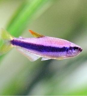 Inpaichthys Kerri - Tetra imperador azul