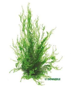 Dennerle Taxiphyllum spec. 'Flame moss' (porção)