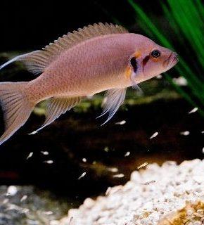Neolamprologus brichardi (Lote 4 peixes)