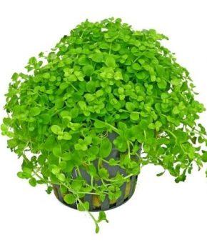 Dennerle Micranthemum tweediei 'Monte carlo'