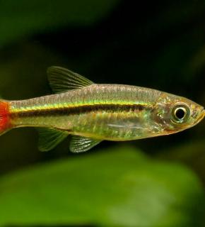 Rasbora borapetensis - Rasbora de cauda vermelha